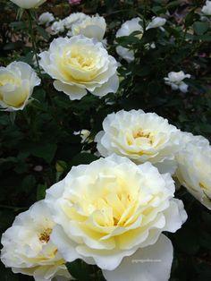 White Licorice, A Floribunda Rose | The fragrance is enchanting