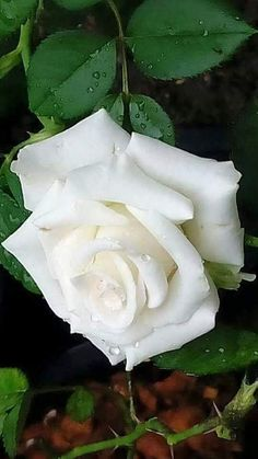If you are thinking of rose gardening don't let this rumor stop you. While rose gardening can prove to be challenging, once you get the hang of it, it really isn't that bad. My Flower, Pretty Flowers, White Flowers, Roses Only, Types Of Roses, Rosa Rose, Rose Pictures, Coming Up Roses, Blue Roses