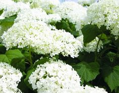 Annabelle hydrangea, 3-5' high, 4-6' wide. (although another site said 8' x 8'?) Native in Illinois.