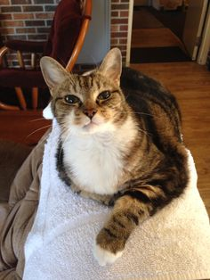 """My Uncle's cat tabby is the nicest cat in the world she lives in the front room of a small motel and meows at anyone who walks in and when she meows it sounds like she is saying """"well hi y'all!"""""""