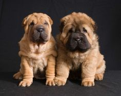 Standart & Bear Coat Shar Pei red color puppies