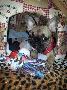 """""""I Loves My Toys"""", French Bulldog Puppy.❤️❤️"""