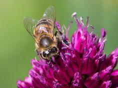 Пчелы дают человечеству очень ценные продукты: мед, воск, цветочную пыльцу, прополис, маточное молочко, забрус, пчелиный яд.