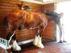Meet and Pet the Budweiser Clydesdale Horses