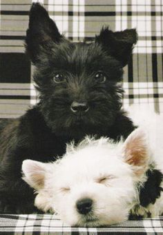 Black and White Tartan and Pups