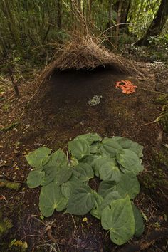 """Piper leaves, orange fungi and berries mark a male Vogelkop's bower.""  by National Geographic"