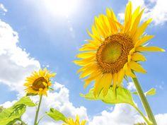 太陽を追いかけて動く「ひまわり」なのは花が咲くまで? - ウェザーニュース