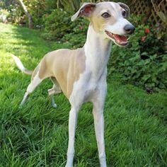Italian Greyhound #hypoallergenic