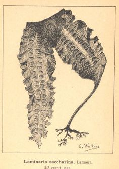 Laminaria saccharina, sugar kelp, 100cm