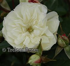 Green Ice - Miniature Rose  White or pale pink, changing to soft green in the open flower. Very free flowering with an open type flower. About 30cm tall