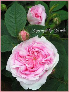 Queen of Denmark rose - David Austin