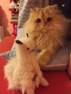 This fluff-nugget who has ONE best friend and no room for anybody else. | 16 Cats Who Don't Care If You Like Them