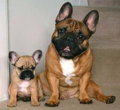frenchie puppies | Tahoma Frenchies - Puppies Week 10