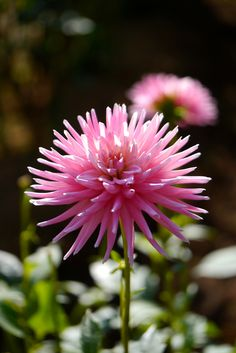 prettylittleflower:    2012 Dahlia #8 (by Yorkey)