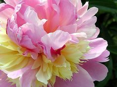 """Now is the time to plant herbaceous peonies. Three tips to success with this lovely, fragrant, long-lived perennial:  1. Plant in full sun. Too much shade is the number one reason that peonies don't flower; However, in warm climates, some afternoon shade will make the flowers last longer, allowing you to enjoy each bloom a few days more.  2. Plant with the buds (or """"eyes"""") just 1-2"""" below the soil surface. Planting too deeply is the number two reason that peonies don't flower. Here's one…"""
