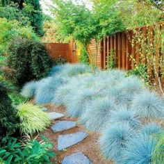 Silver-Leaf Plants for Your Garden Xeriscape. Blue Fescue- silvery foliage is also deer resistant. Blue Fescue- silvery foliage is also deer resistant. Fescue Grass Seed, Blue Fescue, Edging Plants, Foliage Plants, The Secret Garden, Xeriscaping, Xeriscape Plants, Drought Tolerant Plants, Plantar