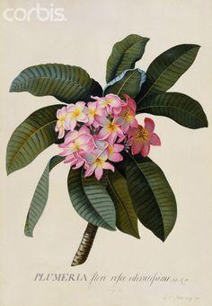 My flower, the frangipani. Botanical print by Johann Wilhelm Wienmann