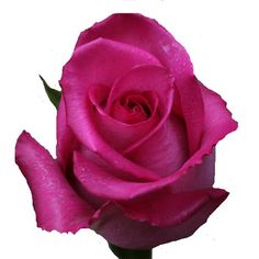 purple cezanne rose - Google Search
