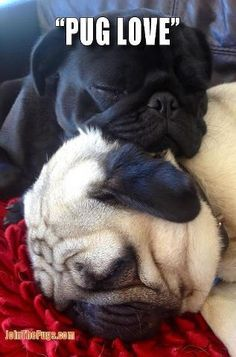 Absolutely LOVE Pugs!