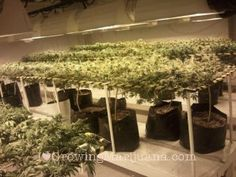 The Active Ingredients Of Medical Marijuana | Pinterest