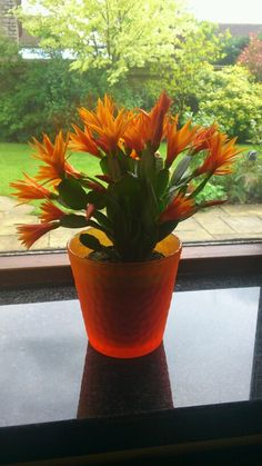 Fiery orange Easter cactus Cacti And Succulents, Planting Succulents, Cactus Plants, Easter Cactus, Cactus Flower, Christmas Cactus Care, How To Grow Cactus, Hummingbird Plants, Florida Plants