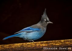 Steller's Jay by Brandon Downing on 500px