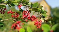 La berbérine : un produit naturel pour lutter contre le diabète
