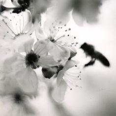 bee on plum blossom, 18x18 silver gelatin print by David Johndrow, 2005