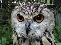ベンガルワシミミズク Rock Eagle Owl