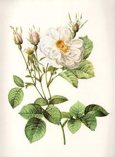 Vintage Botanical Print Antique WHITE ROSE Of Fleury plant