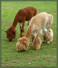 un Alpaga... deux alpagas