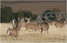 Busy field of whitetails. A hunter's dream sight. #Deer #Hunting