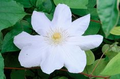 solig rabatt feet tall, prubevyo one goot in late winter / early spring, late summer to autumn flowering. White Clematis, Clematis Flower, Clematis Vine, Buy Plants, Cool Plants, Clematis Varieties, Climber Plants, Mailbox Garden, Clematis Montana