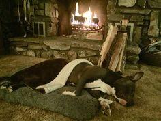 Amstaff Terrier, Boston Terrier, Thanksgiving, Dogs, Animals, Boston Terriers, Animales, Animaux, Thanksgiving Tree