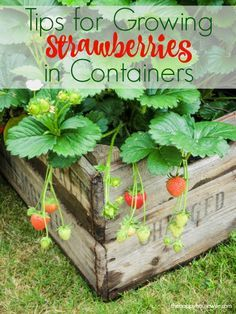 If you are ready to have fresh strawberries at your fingertips, here are7 tips for growing strawberries in containers so you too can enjoy success.