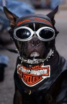 Does your dog have what it takes to be a Harley Davidson Dog? To be a genuine Harley dog, your pup will need attitude, courage and all the right accessories. Now, I can't help you out with the first two, but if you keep on reading, you'll find all the Harley Davidson dog clothes and Harley Davidson accessories your dog will need.