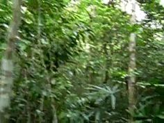 The howler monkey sounds - if you wish!  Costa Rican alarm clocks to me.