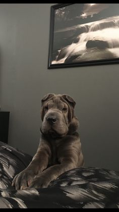Aisa the Shar-pei Baby Puppies, Dogs And Puppies, Poodle Puppies, Doggies, Cute Baby Animals, Animals And Pets, Chinese Dog, Chinese Sharpei, Wrinkly Dog