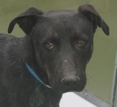 *TANGO - ID#A709543    Shelter staff named me TANGO.    I am a male, black and brown brindle Rottweiler mix.    The shelter staff think I am about 3 years old.    I have been at the shelter since Apr 12, 2013.