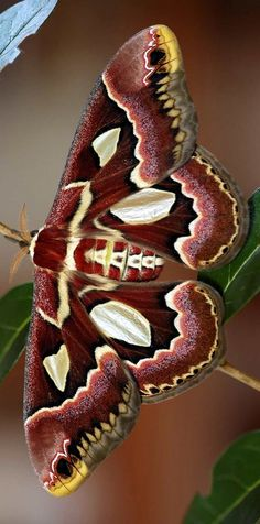 The Cecropia Silkmoth, or Robin moth, is America's largest moth. It is a member…
