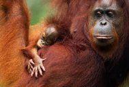 Orang-Oetan met haar jong in Kalimantan, Borneo, Indonesië
