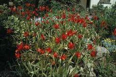 Image result for tulipa sprengeri
