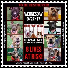 TO BE DESTROYED 09/27/17 - - Info    To rescue a Death Row Dog, Please read this:http://information.urgentpodr.org/adoption-info-and-list-of-rescues/   To view the full album, please click here: http://nycdogs.urgentpodr.org/tbd-dogs-page/ -  Click for info & Current Status: http://nycdogs.urgentpodr.org/to-be-destroyed-4915/