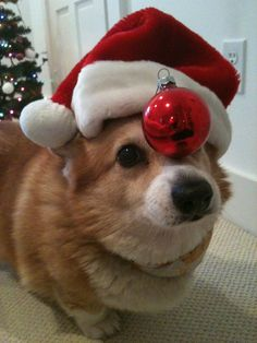 Hazel-nut Corgilicious Santa Claus - Adorable Pembroke Welsh Corgi Hazel shares the joys of the season - from ThingsonHazelsHead via CorgiAddict