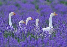 Des oies dans un champ de lavande