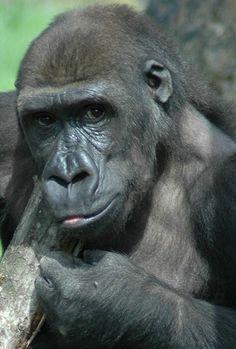 Aventurate en la espesura del bosque ecuatorial en busca de gorilas en Bioparc Valencia