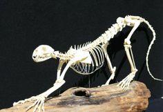 Juvenile cougar skeleton