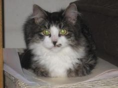 Angie is an adoptable Maine Coon Cat in Kansas City, MO. Angie is a sweet baby that loves to be held. She gets along great with other cats & dogs. All cats/kittens will be spay/neutered before going t...
