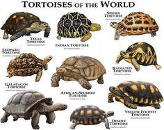 I have seen numerous suggestions for Russian tortoise diet Some great Some awful. Russian Tortoises are nibblers and appreciate broad leaf plants. Tortoise Habitat, Tortoise Care, Giant Tortoise, Tortoise Turtle, Tortoise House, Pet Turtle, Turtle Love, Freshwater Turtles, Sulcata Tortoise