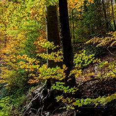Tardor al Montseny - Walking in the woods, at Montseny in Autumn